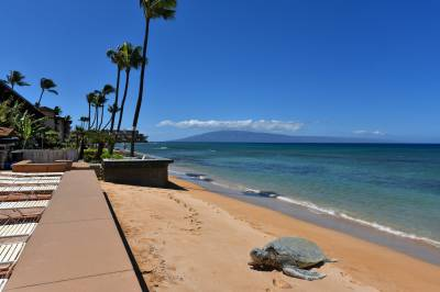 turtle at beach in maui
